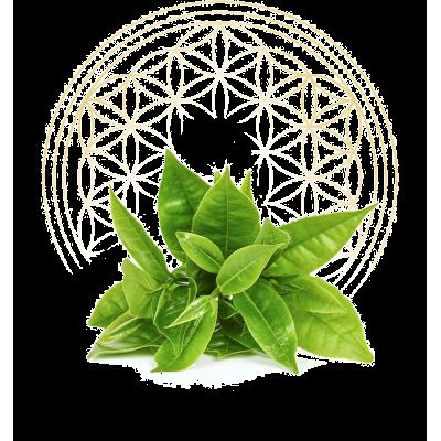 Green tea therapy